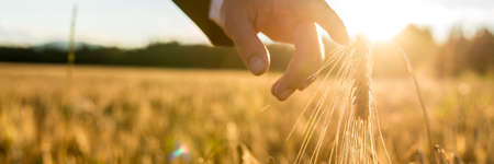 Businessman reaching down with his finger touching an ear of golden wheat in a wheat field at sunset backlit by the golden sun. Conceptual of turning back to nature for inspiration and peace of mind.