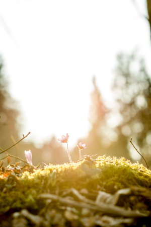 Bella concetto di natura - rock muschio con nuovi fiori blu delicati indietro illuminati dal sole. Archivio Fotografico - 43575920