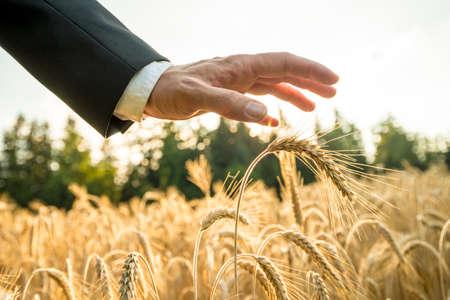 cultivo de trigo: Hombre de negocios o ecologista sostiene una palma de la mano por encima de una espiga de trigo maduro de oro en un campo de trigo en la puesta del sol a contraluz por el sol de oro.