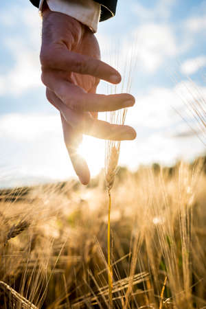 agricultural life: Businessman or environmentalist reaching down with his hand gently touching an ear of ripe golden wheat in a wheat field  at sunrise backlit by the golden sun, closeup of his hand.