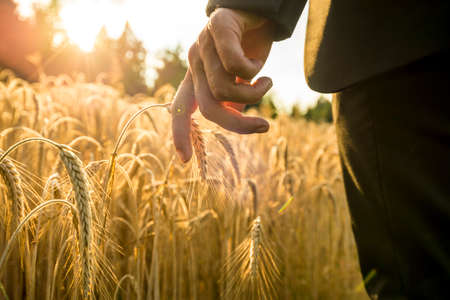 nature: Businessman walking through a golden wheat field touching an ear of ripening wheat at sunset backlit by the golden sun. Conceptual of turning back to nature for inspiration, energy and peace of mind.