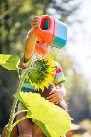 regando plantas: Young child sitting on the shoulder of a parent watering a sunflower from a bright red plastic water can on a hot sunny summer day.