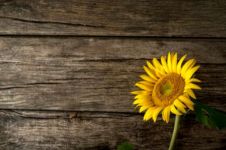 Single fresh yellow sunflower, or Helianthus, lying to the right hand side on old weathered cracked rustic wood boards with copyspace. Foto de archivo