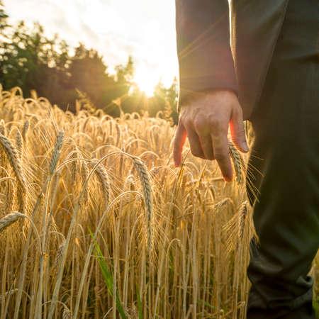 prosperidad: Vista frontal del empresario tocar una espiga de trigo maduro de oro en una imagen conceptual para los negocios y la prosperidad.