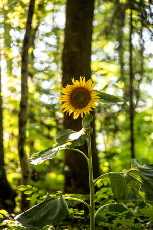 longevity: Beautiful yellow sunflower blooming in nature with a forested area in background symbolizing adoration, loyalty and longevity.