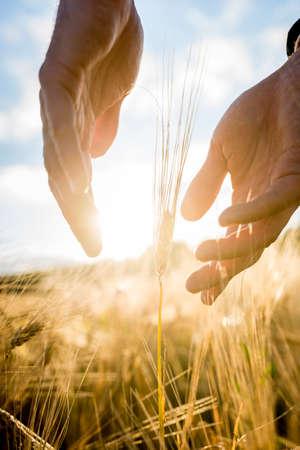 農学者や農家、ビジネス、生活、繁栄の概念に適した彼の手の間昇る太陽の暖かな輝きで農業分野バックライトの小麦の耳の周りに彼の手をすくい
