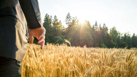 cereal plant: Rear view of man in elegant suit standing in ripening golden wheat field about to touch an ear of cereal plant with his hand in beautiful nature with sun rays coming through the tree tops.