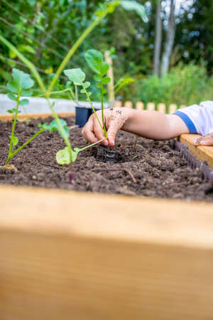 primal: Closeup of a childs hand planting a fresh green seedling of black radish into a soil in a garden high beam. Stock Photo