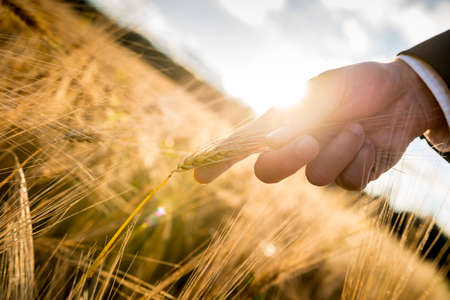 sun protection: Closeup of male hand in elegant suit holding a ripening golden wheat ear backlit by a bright sun flare. Conceptual of start up business, environmental conservation and ecology. Stock Photo