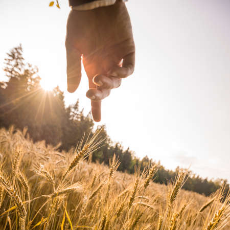 Male hand about to touch a ripening golden ear of wheat in the middle of beautiful wheat field lit by the evening sun. Conceptual of wealth, ecology, business startup and abundance.
