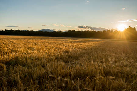 ripening: Beautiful golden ripening wheat field gently flowing in the wind lit by a setting evening sun shining its rays from behind trees in the distance. Stock Photo