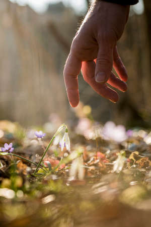 changing seasons: Closeup of male hand reaching down to touch a delicate first spring snowdrop flower symbolising the changing seasons. Stock Photo