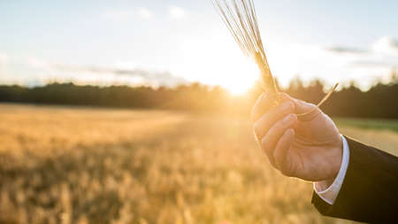 Closeup of male hand holding a wheat ear over a background of blurred wheat field with setting sun shining directly behind the ear. Banco de Imagens