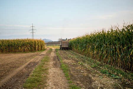 late summer: Corn field being harvested by a tractor in late summer. Stock Photo