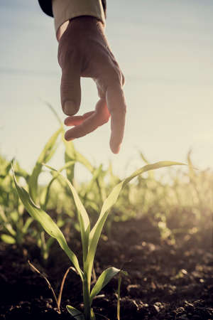 plant hand: Male hand in an elegant business suit reaching down to touch a young corn plant growing in a field lit with bright sun, retro effect faded look.