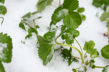 hail: Top view of strawberry seedling growing in a garden covered with hail or snow.