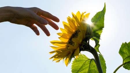 bonne aventure: Main tendue vers un tournesol rétro-éclairé avec le soleil torche dans une image conceptuelle de la nature, l'agriculture et de la durabilité.