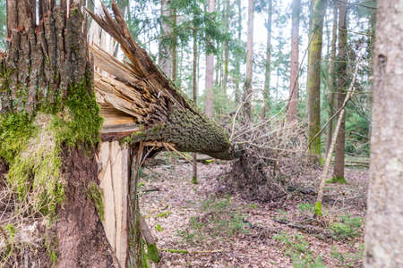 felled: Forest tree felled in a storm lying on its side on the ground supported at one end in the air by the split and shattered remnants of the trunk. Stock Photo