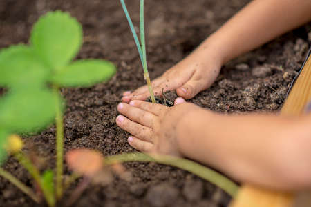 Child planting a young plant seedling into a raised flower bed compacting the soil around the roots with their hands, close up view.