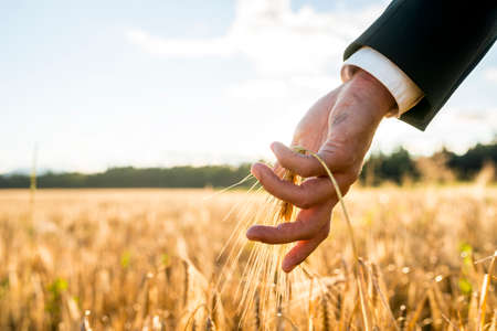Businessman touching an ear of ripening wheat. Conceptual of turning back to nature for inspiration and energy.