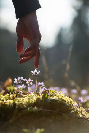 Close up of the hand of a man above a new blue flower in a spring garden.