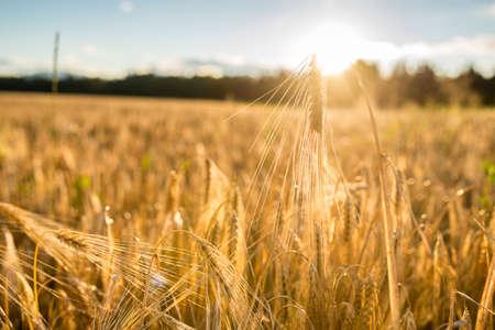태양에 의해 조명하는 농업 분야에서 밀의 황금 귀의 낮은 각도보기를 닫습니다.