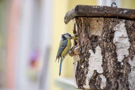 Eurasian Blue Tit in een nestdoos aan de raambank van een huis, die zijn jonge in een close-up zijaanzicht van de vogel die op de rand ligt, voedt. Stockfoto