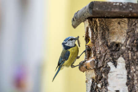 Eurasian Blue Tit at a nesting box feeding its young with caterpillar in a close up side view of the bird perched on the edge. Фото со стока