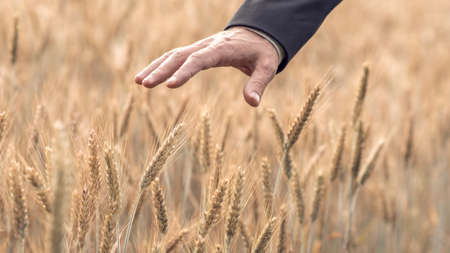 Retro style image of a hand of a businessman in a suit touching a ripening ear of wheat in an agricultural field in a conceptual image.