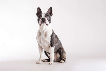 Loyal Boston Terrier sitting on grey watching looking upwards with an alert intent expression with copy space. 版權商用圖片