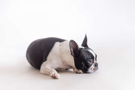 Side view of Boston Terrier or Boston Bull lying on a grey background in studio shot.