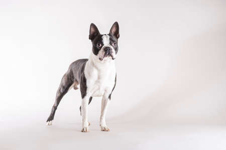 Full length studio shot of a young and alert Boston Terrier dog looking with concentration with copy space on grey background.