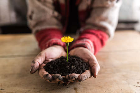 Person holding a colorful yellow dandelion in rich fertile earth over a wooden table, suitable for organic, eco and bio concepts.