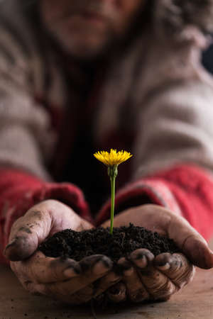 Gardener with dirty hands cupping a colorful fresh yellow dandelion in soil in his palms extending it towards the camera conceptual of spring.