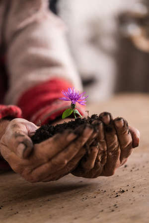 Gardener with dirty hands holding a purple flower cupped in his hand in rich soil, suitable for organic concept. Standard-Bild