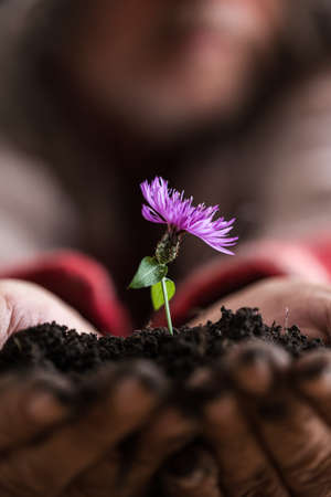 Man holding a purple spring flower in a soil in his hands, suitable for  life and spirituality concepts. Stock Photo