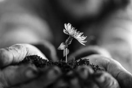 Man holding a dandelion in soil cupped in his hands in a close up monochrome greyscale image conceptual of nature and the spring season. Stock Photo