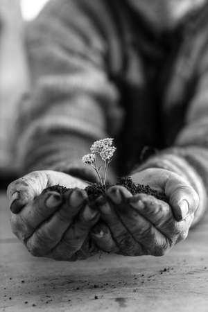 Monochrome image of a man holding a soil with a white spring flower in his cupped hands.