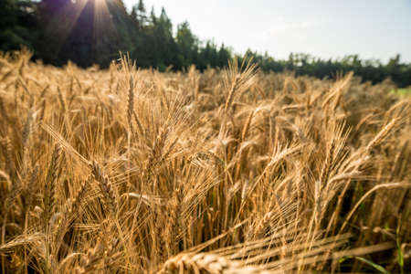 Closeup view of beautiful golden wheat field with forest in background and rays of sun over the trees.