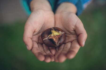 Retro image of a child holding roasted chestnut in his palms, top view.