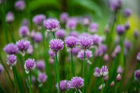 Macro image of beautiful purple blossoms of chives blooming in spring.