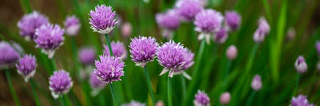 Wide view image of chives blooming in the spring. Closeup view. Archivio Fotografico - 126278801