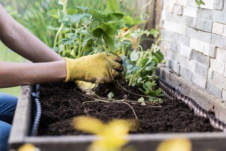Woman wearing garden gloves planting wild strawberries in to her garden. Banco de Imagens - 126278869