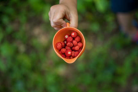 Top view of childs hand holding an orange cup full of wild strawberries. With blurred background of green forest path. Archivio Fotografico - 126278878