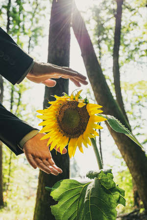 Male hands in business suit making protective gesture around blooming sunflower. Imagens - 128872831
