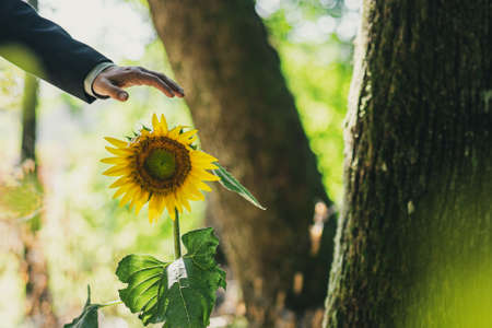 Hand of a businessman over a beautiful blooming sunflower groeing in a forest in a conceptual image.