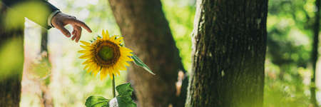 Wide view image of businessman hand about to touch a beautiful blooming sunflower growing in a forest lit by the sun.