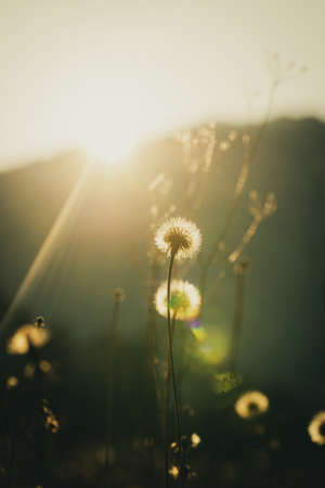 Low angle view of fluffy dandelion bulbs growing in beautiful bright sunlight.