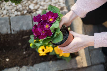 Top view of female hand takin a beautiful purple pansy flower out of a plastic cup zo plant it in her ornamental garden. Zdjęcie Seryjne