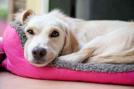 Cute white dog lying in her pink bed looking at the camera.